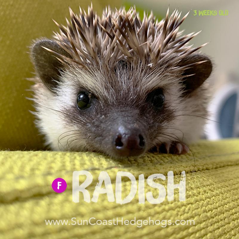 Grey - Hedgehog on Hold - Radish