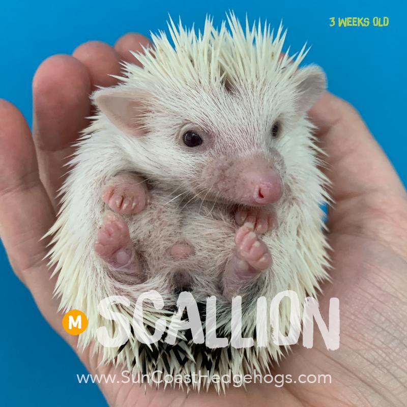 BlackPinto - Hedgehog for Sale - Scallion