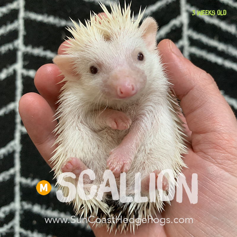 More pictures of Scallion