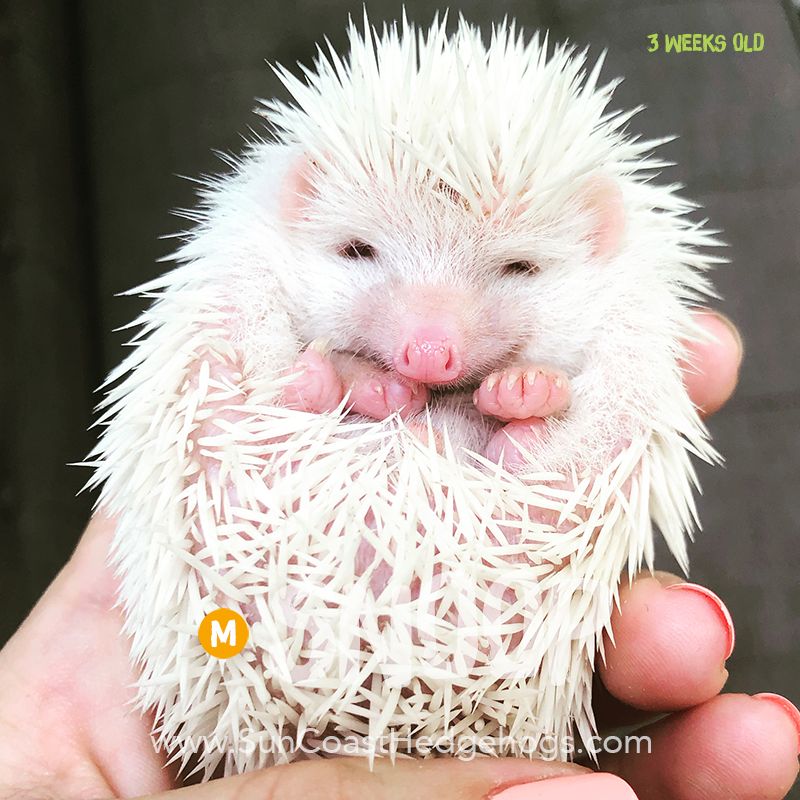 Albino - Hedgehog for Sale - Snoop