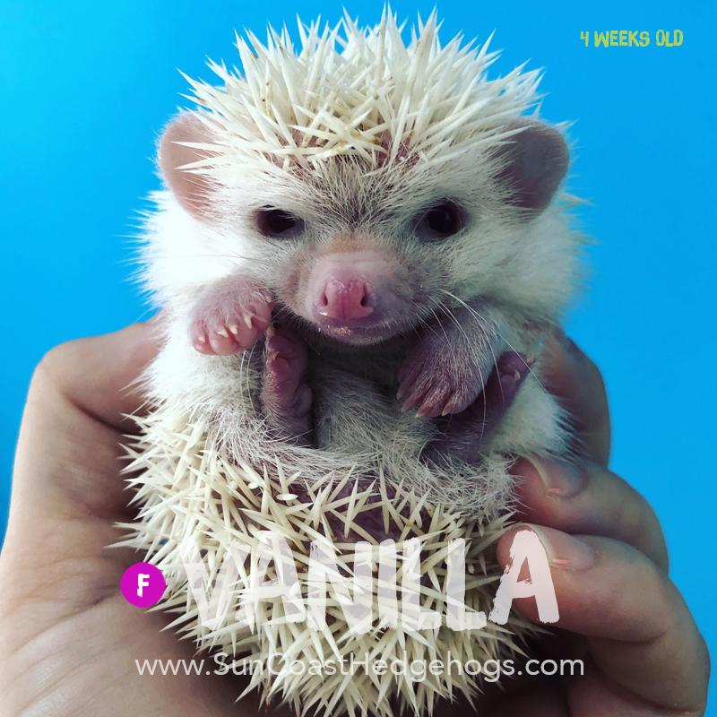 Albino - Hedgehog for Sale - Vanilla
