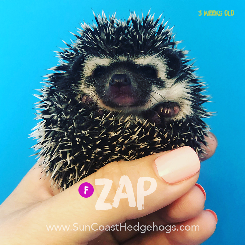 Black - Hedgehog for Sale - Zap