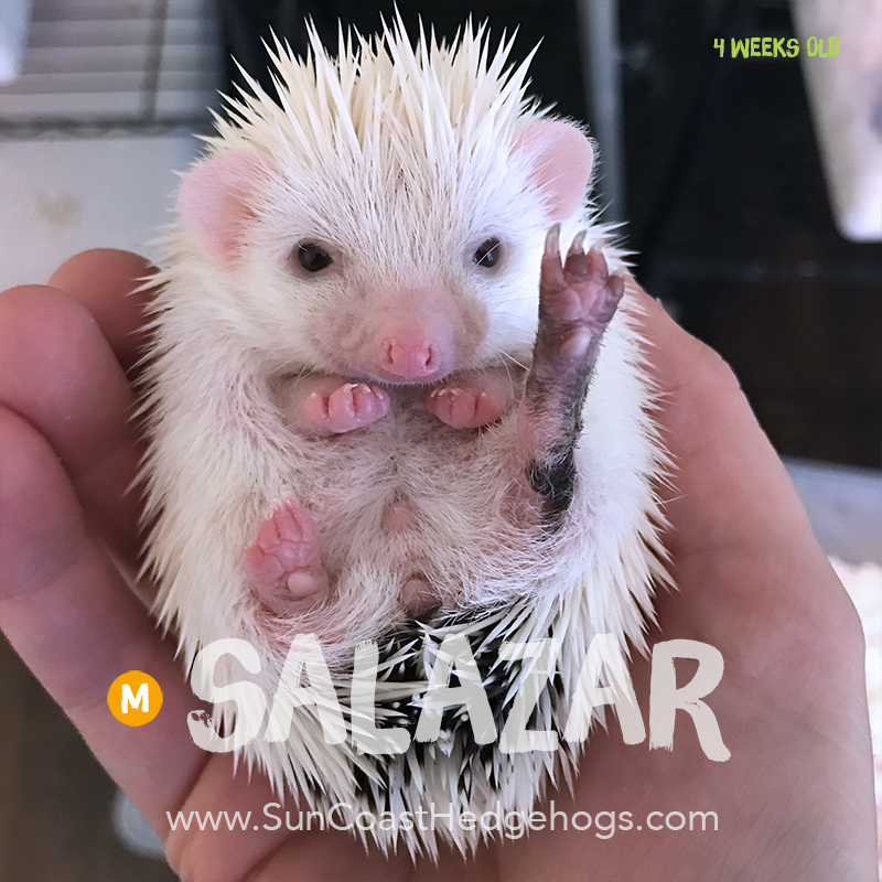 BlackPinto - Hedgehog for Sale - Salazar