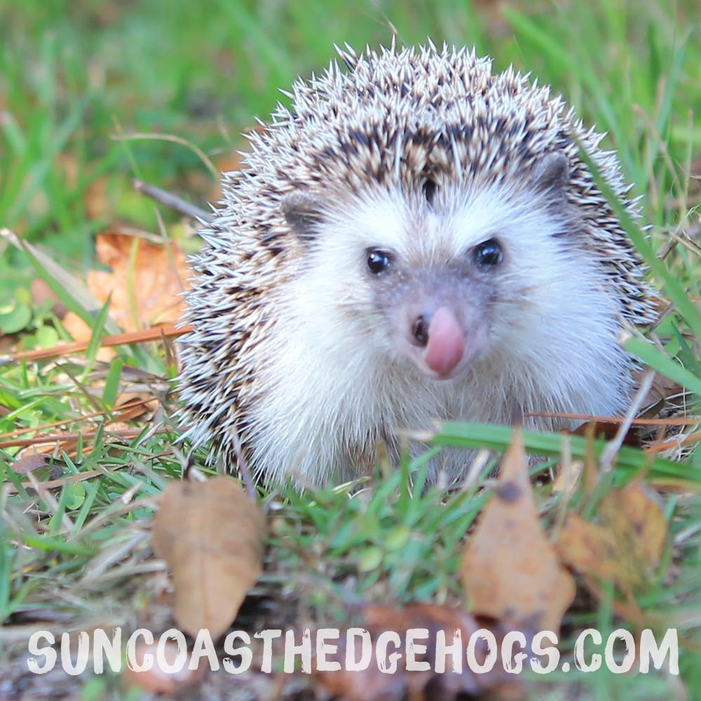 Black - Our Hedgehog - Gizmo