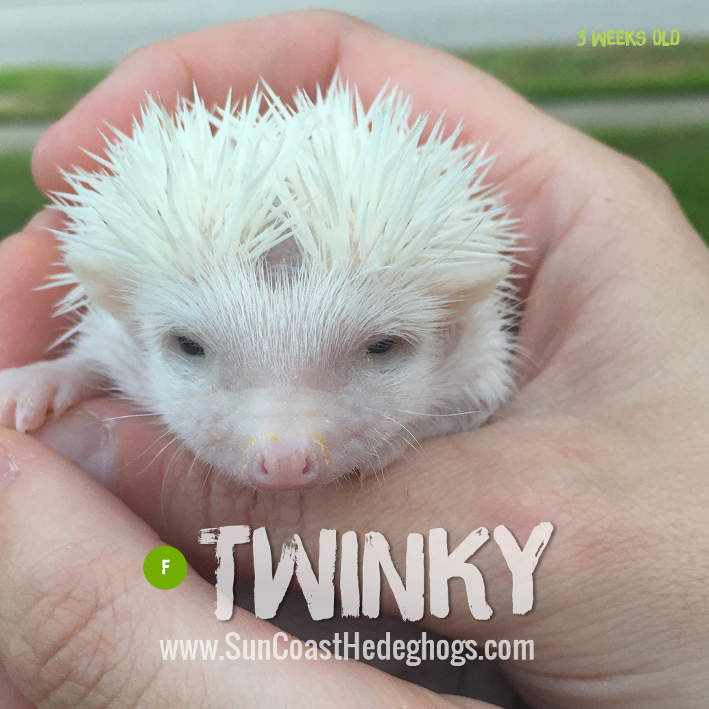 Pinto - Hedgehog for Sale - Twinky