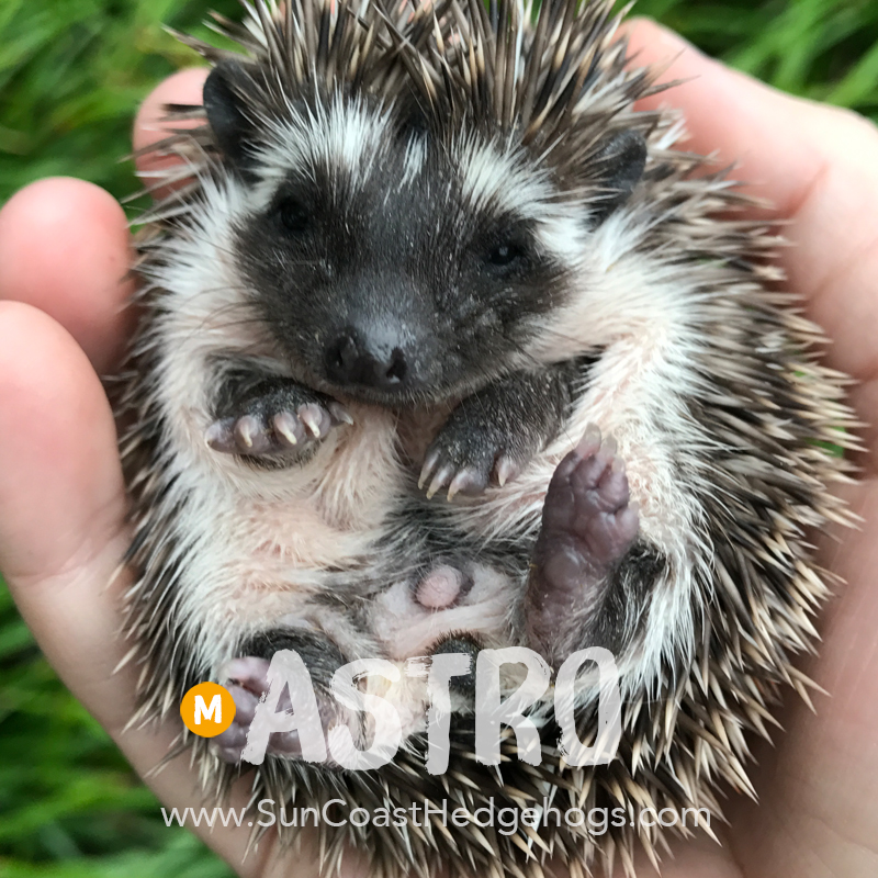 Black - Hedgehog for Sale - Astro