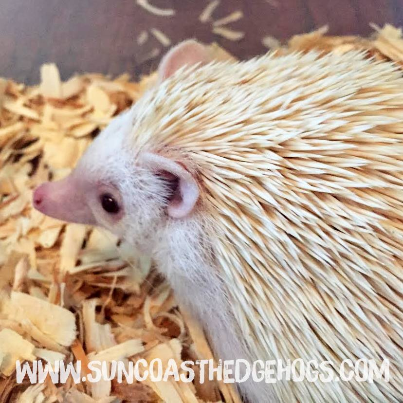Ruby Eyed Cinnacot - Our Hedgehog - Beignet