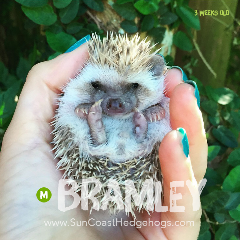 Cinnamon - Hedgehog for Sale - Bramley