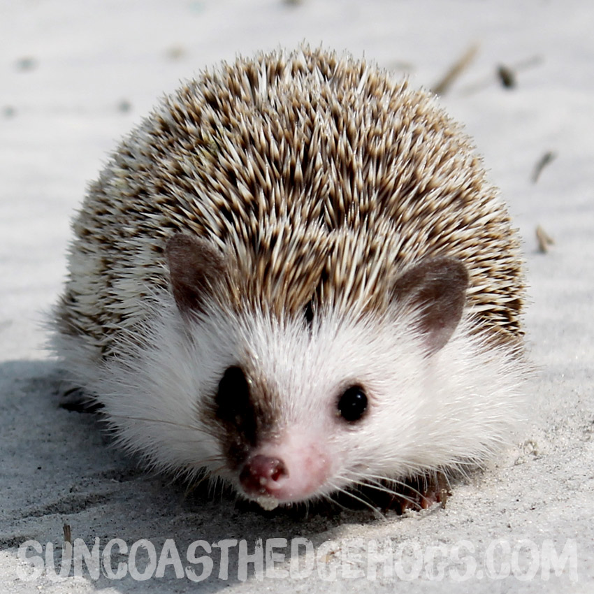 Oak BrownPinto - Our Hedgehog - Cider