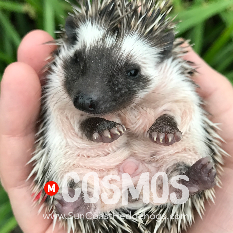 Black - Hedgehog on Hold - Cosmos