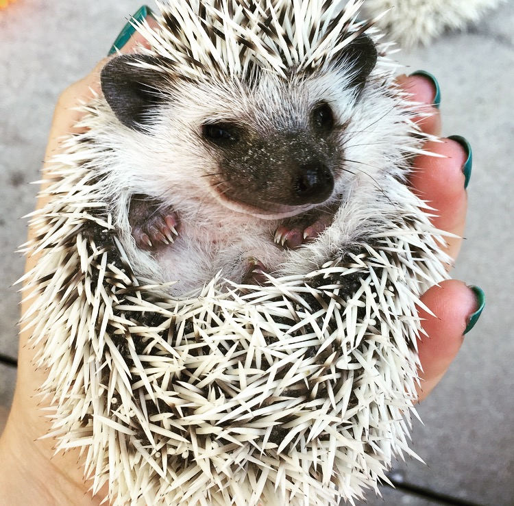 75% Snowflake - Hedgehog for Sale - Crescent