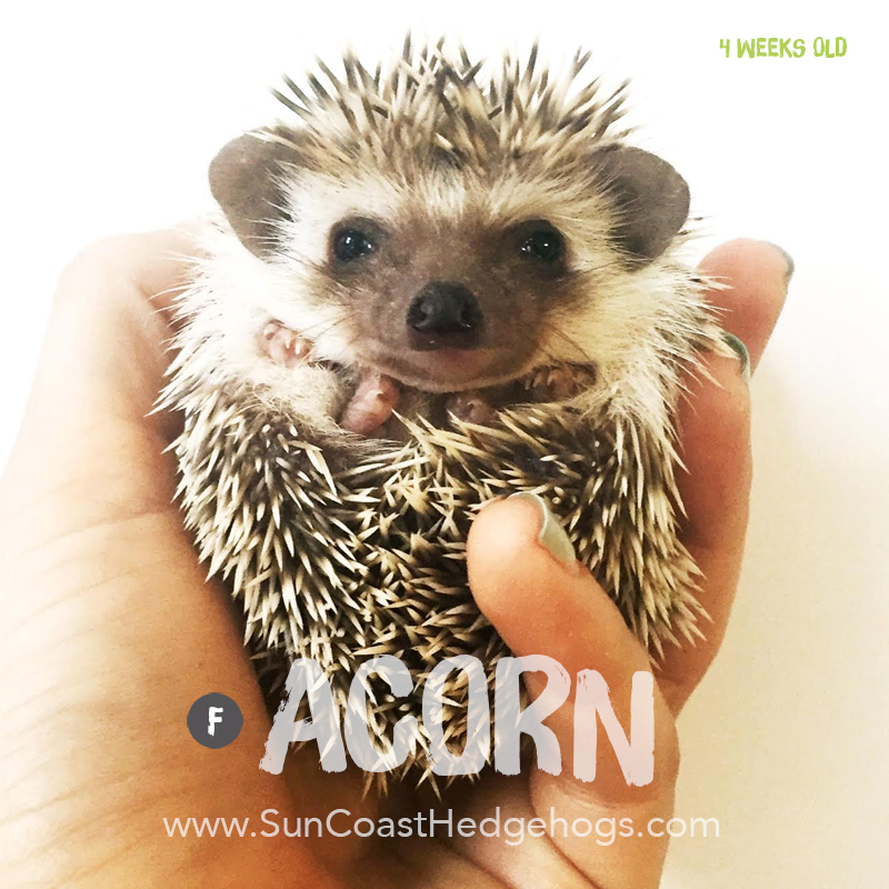 Chocolate - Hedgehog for Sale - Acorn