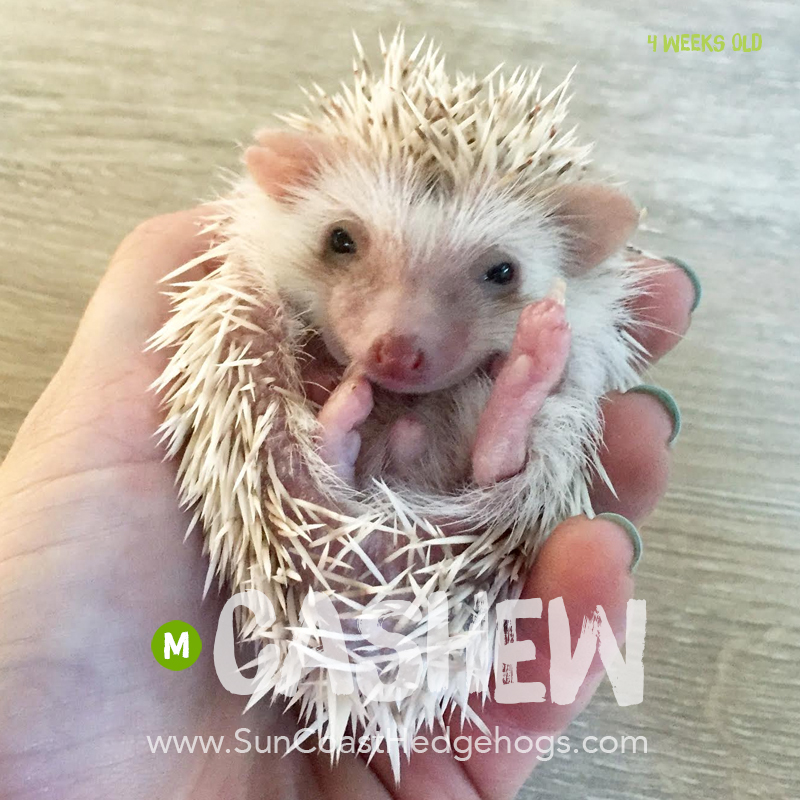 Cinnacot - Hedgehog for Sale - Cashew