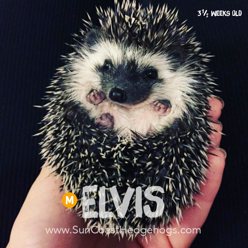 Black - Hedgehog for Sale - Elvis