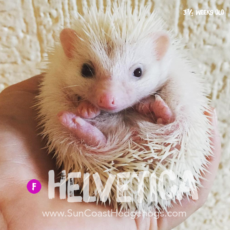 GreyPinto - Hedgehog for Sale - Helvetica