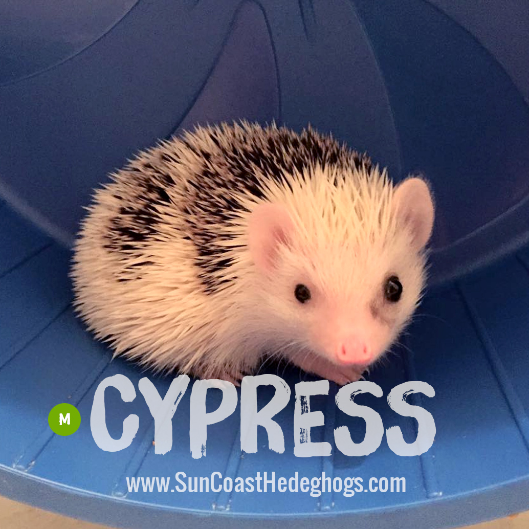 GreyPinto - Hedgehog for Sale - Cypress