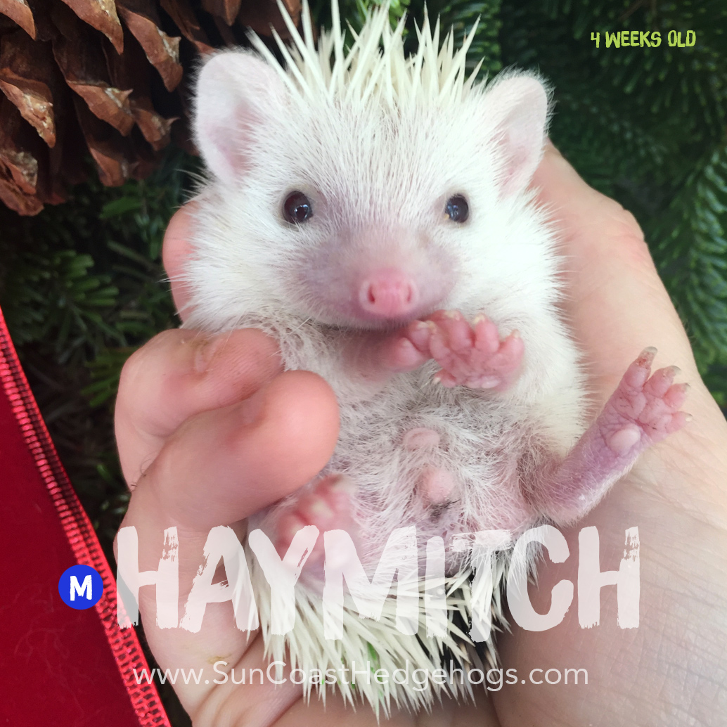 GreyPinto - Hedgehog for Sale - Haymitch