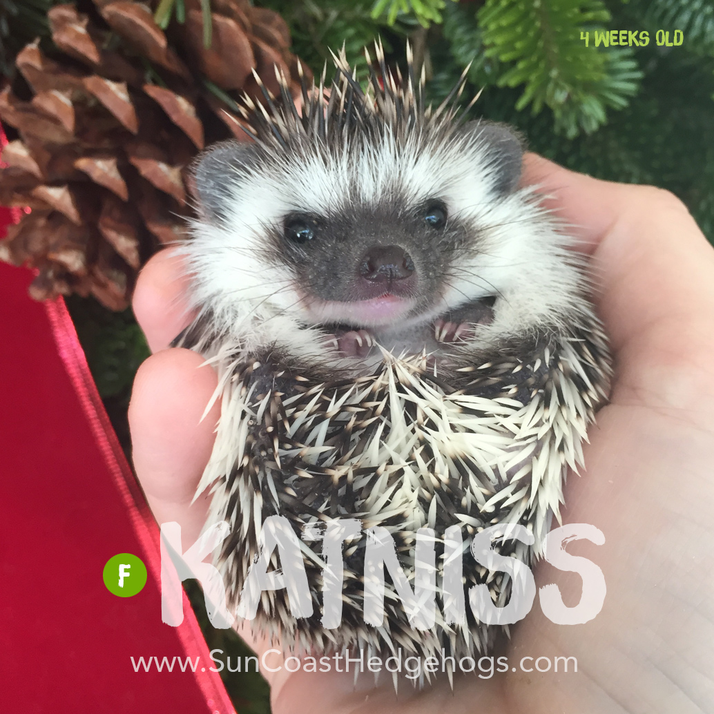 Grey - Hedgehog for Sale - Katniss