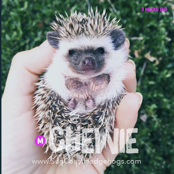 Cinnamon - Hedgehog for Sale - Chewie