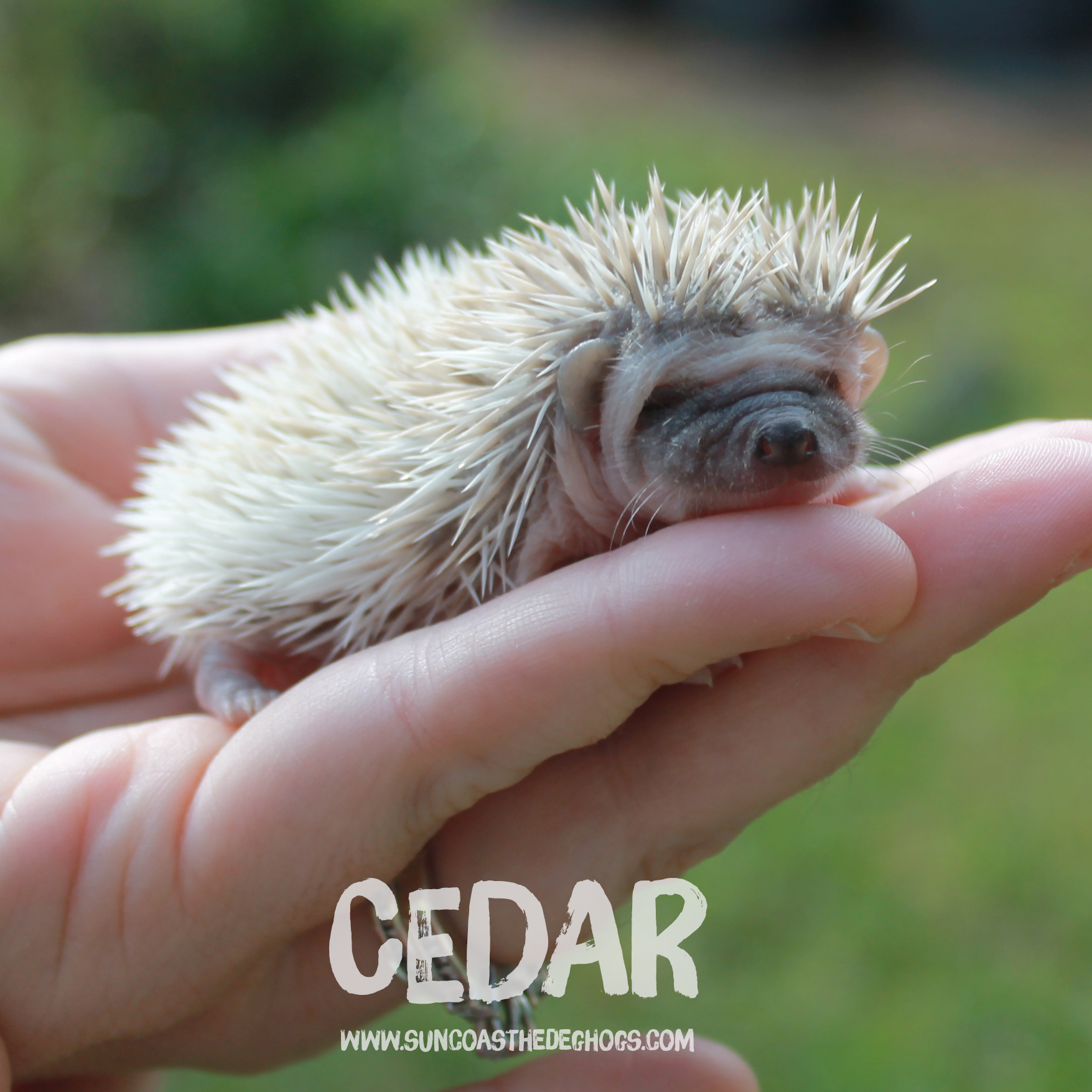 Pinto - Hedgehog for Sale - Cedar