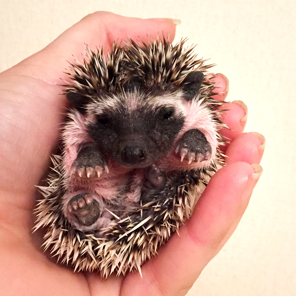 Black - Hedgehog for Sale - Bubblegum