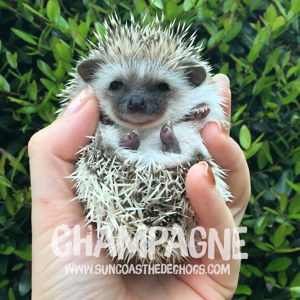 Oak BrownPinto - Hedgehog for Sale - Champagne